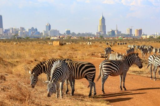 Herd of zebras with city in background