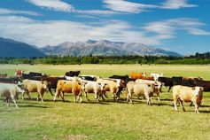 Maori values lead the way - Agribusiness Report 2020