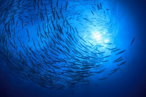Large group of fish under water