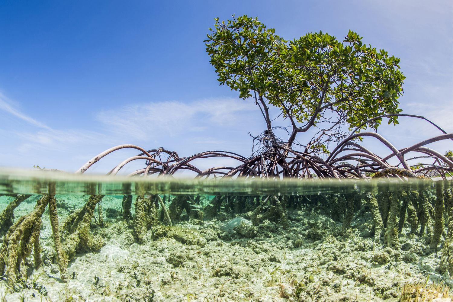 Over and under water photograph of a mangrove tree in clear tropical waters with blue sky in background