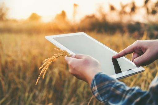 Person using a tablet in wheat field at sunrise