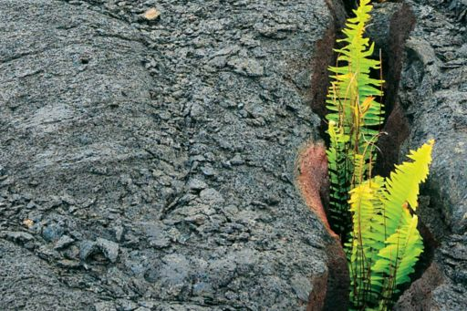 Resilience – Ferns growing out of cracked lava