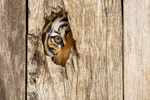 Tiger watching through a hole