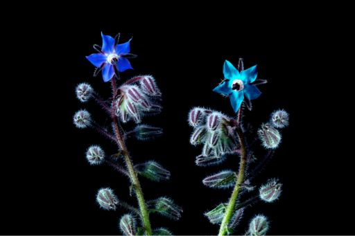 Two separate stems of a borage plant