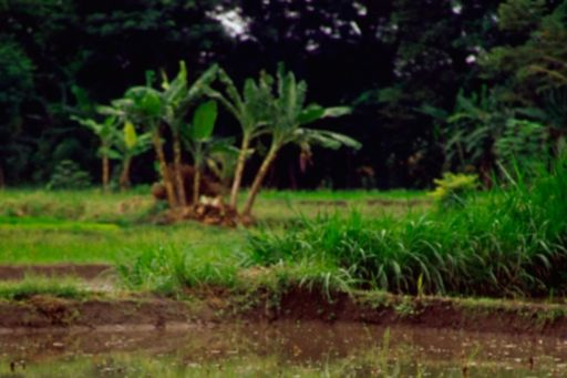 Woman planting rice paddy in a field