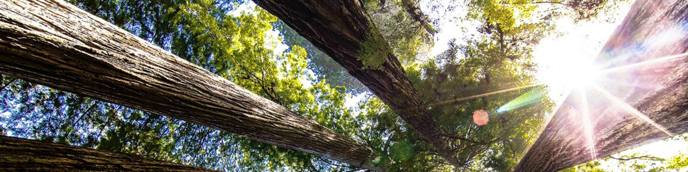 Worm's eye view of tall trees in forest